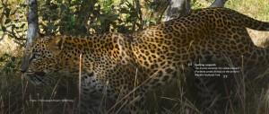 Spotting Leopards Web